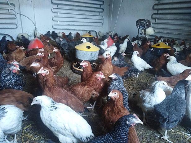 Kury, nioski, kurczęta, kurczaki 14 tyg.