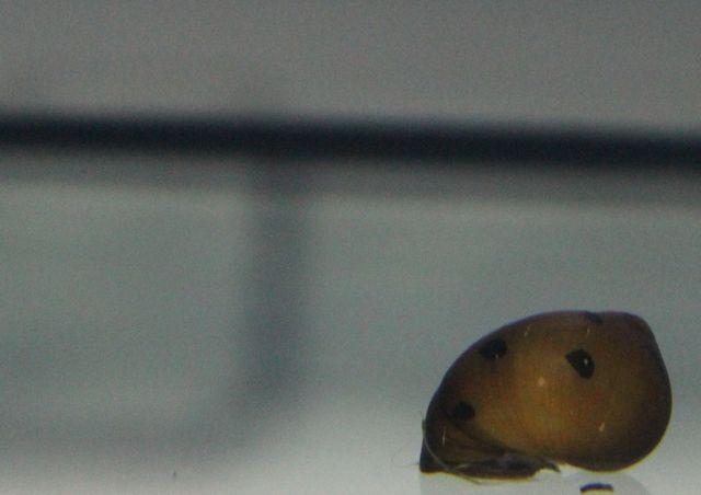 ślimak Neritina red spotted od 20 sztuk po 4zl