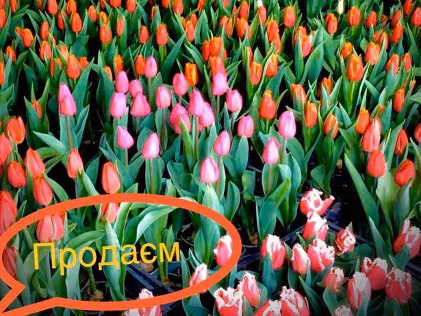 Тюльпани Нарциси Гіацинт