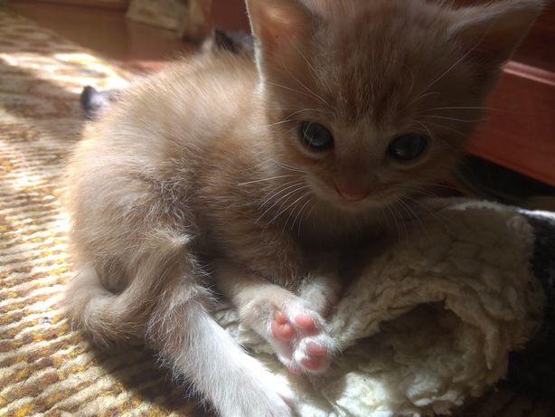 Кошеня Тигрулька