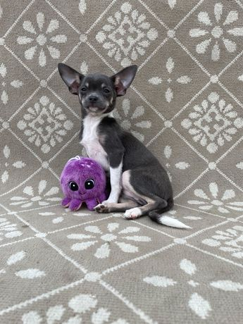 Chihuahua  Fêmea pronta para entrega