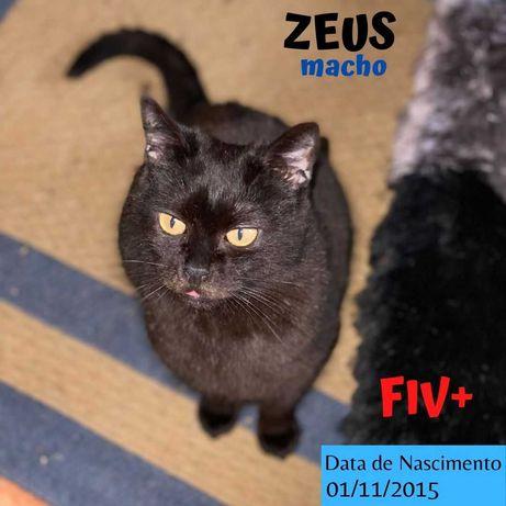 Gato Especial FIV Para Adoção (Zeus)