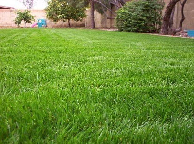 Газонная Трава/ Садово-парковый газон/ семена от 75 грн/кг ОПТ/РОЗНИЦА