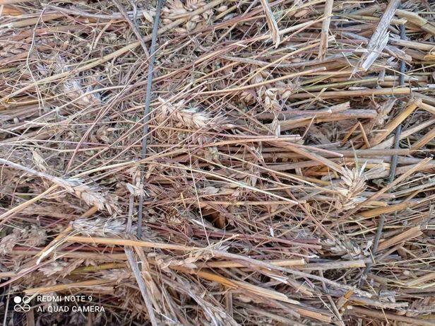 Солома пшеничная в тюках, затюкована вместе с зерном  25гр, есть 300шт