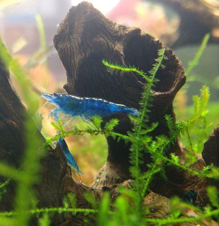 *Oferta de portes* - Camarões/Shrimp Blue Dream