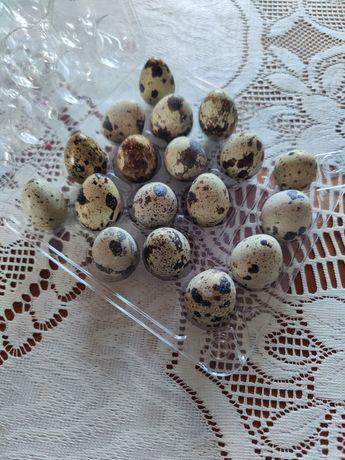 Jajka przepiórki jaja przepiórcze konsumpcyjne i lęgowe