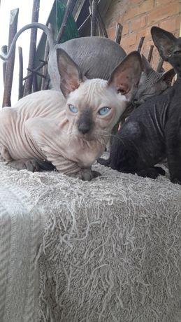 Питомник продает голых котят.