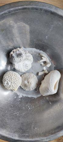 Koralowiec morski zestaw muszla