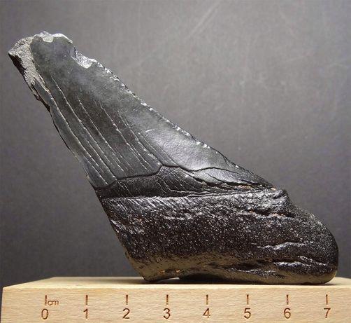 Ząb wielkiego rekina, Megalodon - skamieniałość certyfikowana