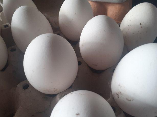 Jaja lęgowe gęsi landes i rypińskiej