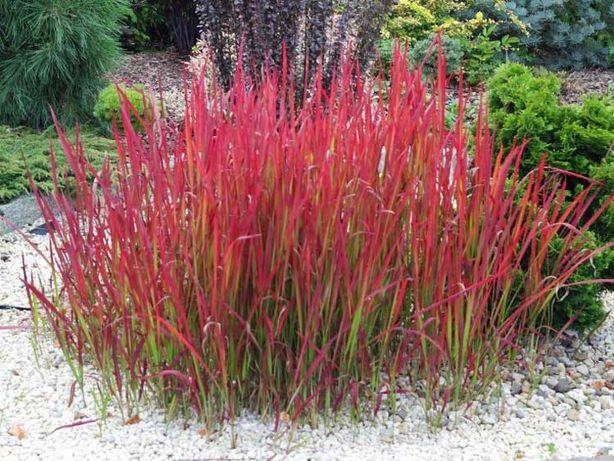 imperata cylindryczna 'Red Baron' trawa ozdobna trawy ozdobne