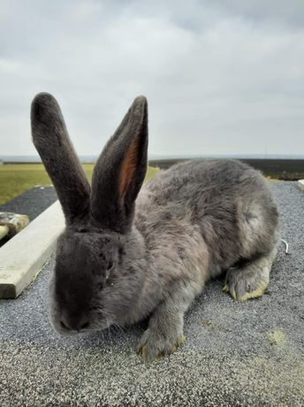 Sprzedam królika SAMIEC