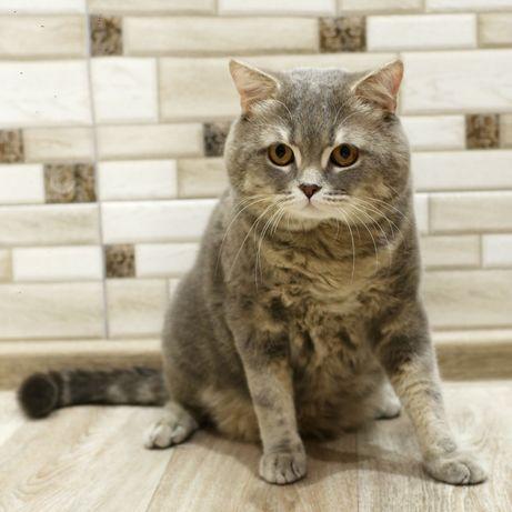 Шотландский кот для случки, вязки.