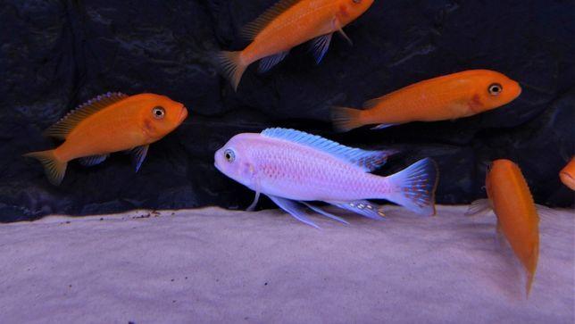 Metriaclima Estherae Minos Reef