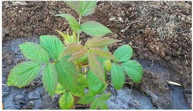 Саженцы молодые ростки саженцы малины