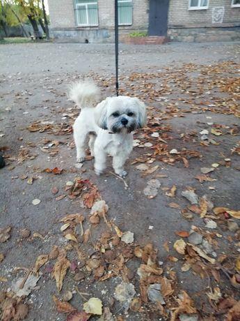 Найдена собака ши-тцу