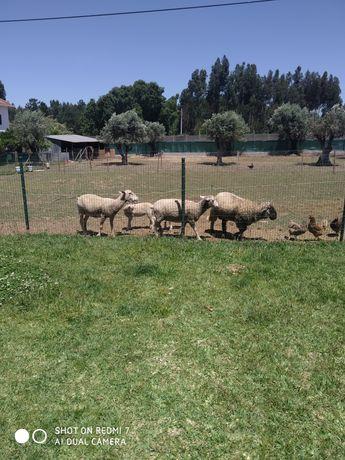 Vendo animais ovelhas