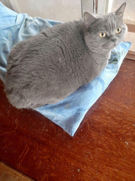 Отдам/бесплатно/шотландские кошки Одесса - изображение 1