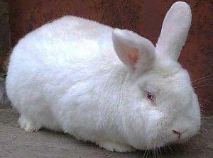 Недорого!!! Продам кроликов. Новозеландский белый
