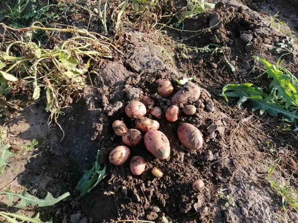 Продам посевной картофель сорт Славянка