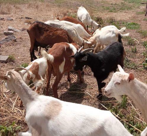 Vendo cabras e bode