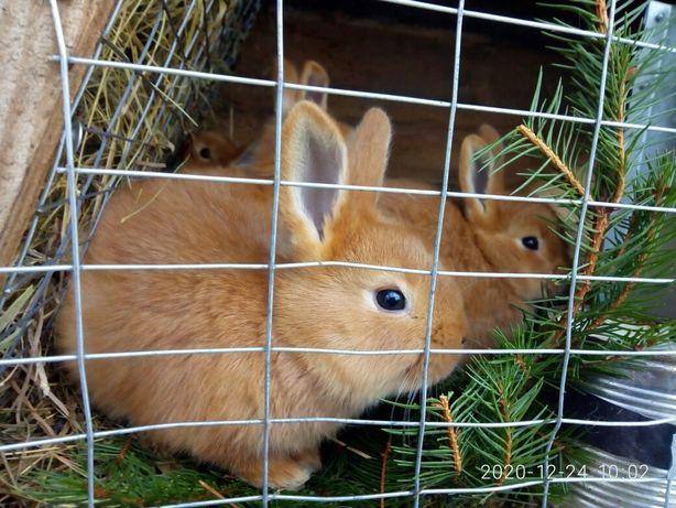 Кролики кролі Бургундські