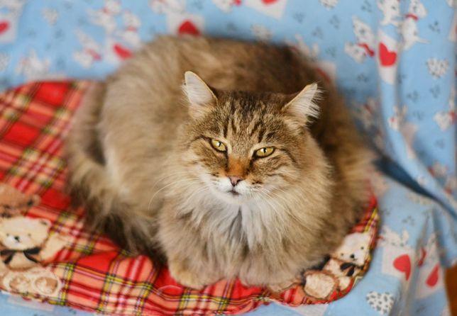 Золотая кошечка Амалия, 1.5 года, кошка, кот