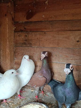 Gołębie różne gatunki pocztowe kariery