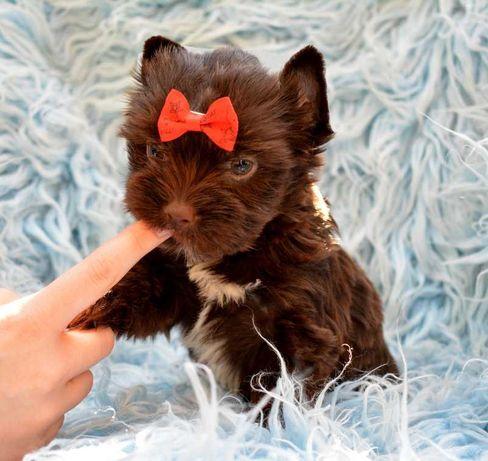 Diva Yorkshire Terrier York czekoladowa suczka z rodowodem