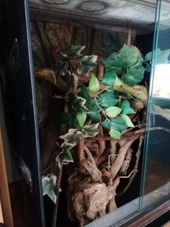 Gekon orzęsiony +terrarium