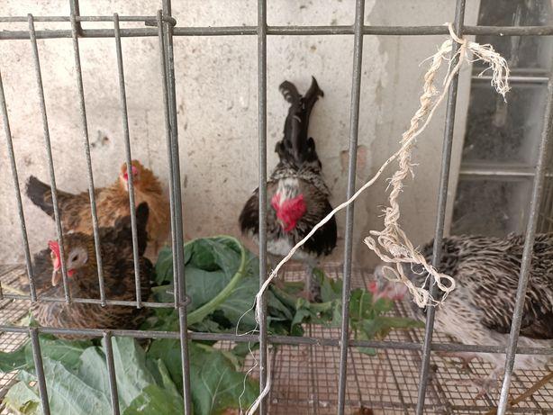 Vendo 3 cocos e um galinho