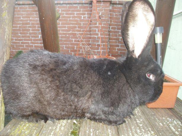 króliki Belgijski Olbrzym Żelazisty