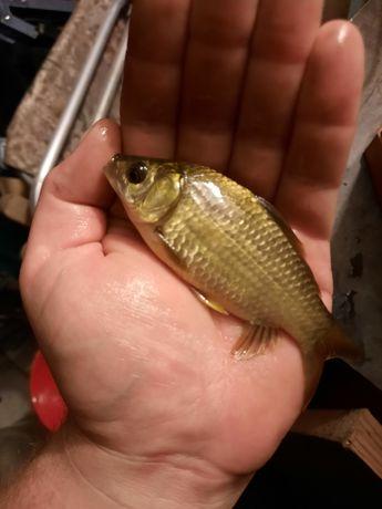 Ryby Ryba Karaś karasie do oczka na żywca itp
