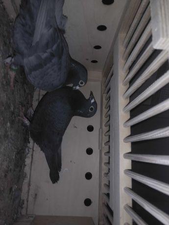 Gołębie pocztowe czarne