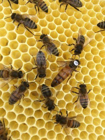 Matki pszczele BF KB  oraz BF PS matka pszczela