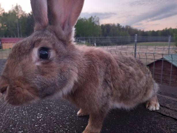 Samica   królika