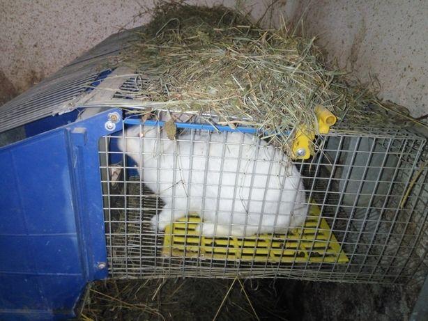 Кролики Хіплюс (HyPlus)