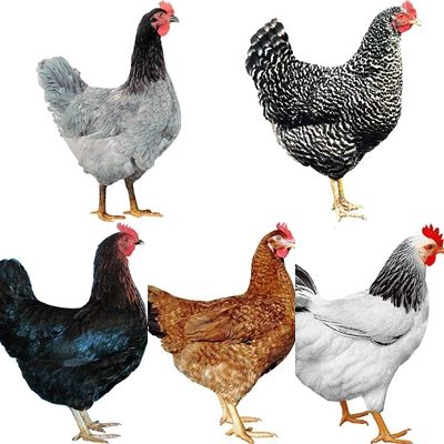Kurki kokoszki kurczaki młode kury nioski