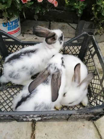 Кроленята по 100