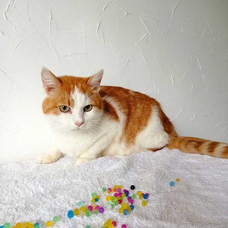 Ласковый рыжий котик с белым воротничком и лапками, отдам