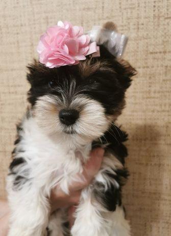 Biewer Yorkshire Terrier, york suczka