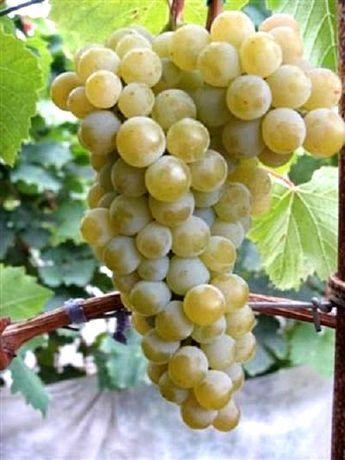 Саженцы винограда Технические винные сорта Черенки Чубуки винограда.