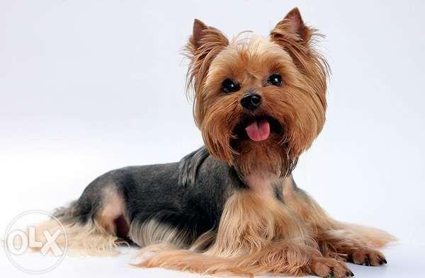 НЕДОРОГО! Стрижка собак, йоркширского терьера, Йорков с выездом на дом