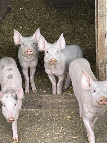 Свинки не дорого
