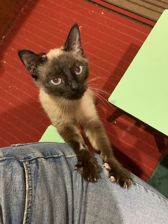Найдена сиамская кошка