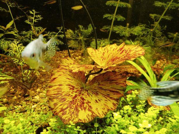 Lotos tygrysi Nymphaea tiger lotus