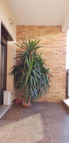 Planta Yucca com 2,5metros