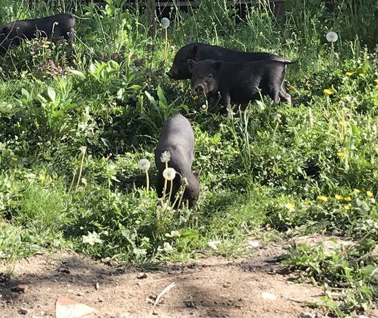 Продам в'єтнамські свині