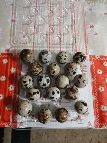 Jaja spożywcze przepiorek