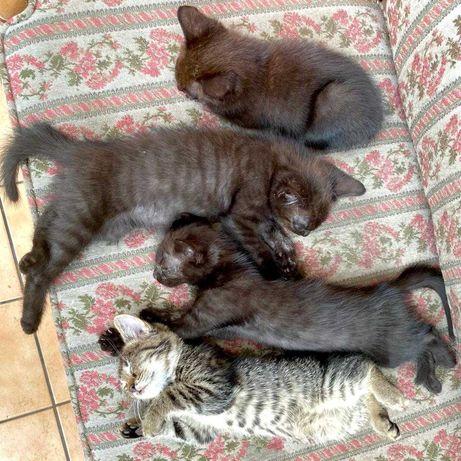 Oddam małe koty czarne i szare